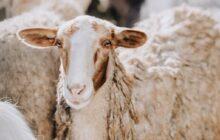 اجرای طرح اصلاح نژاد گوسفند «سنگسری» در میامی