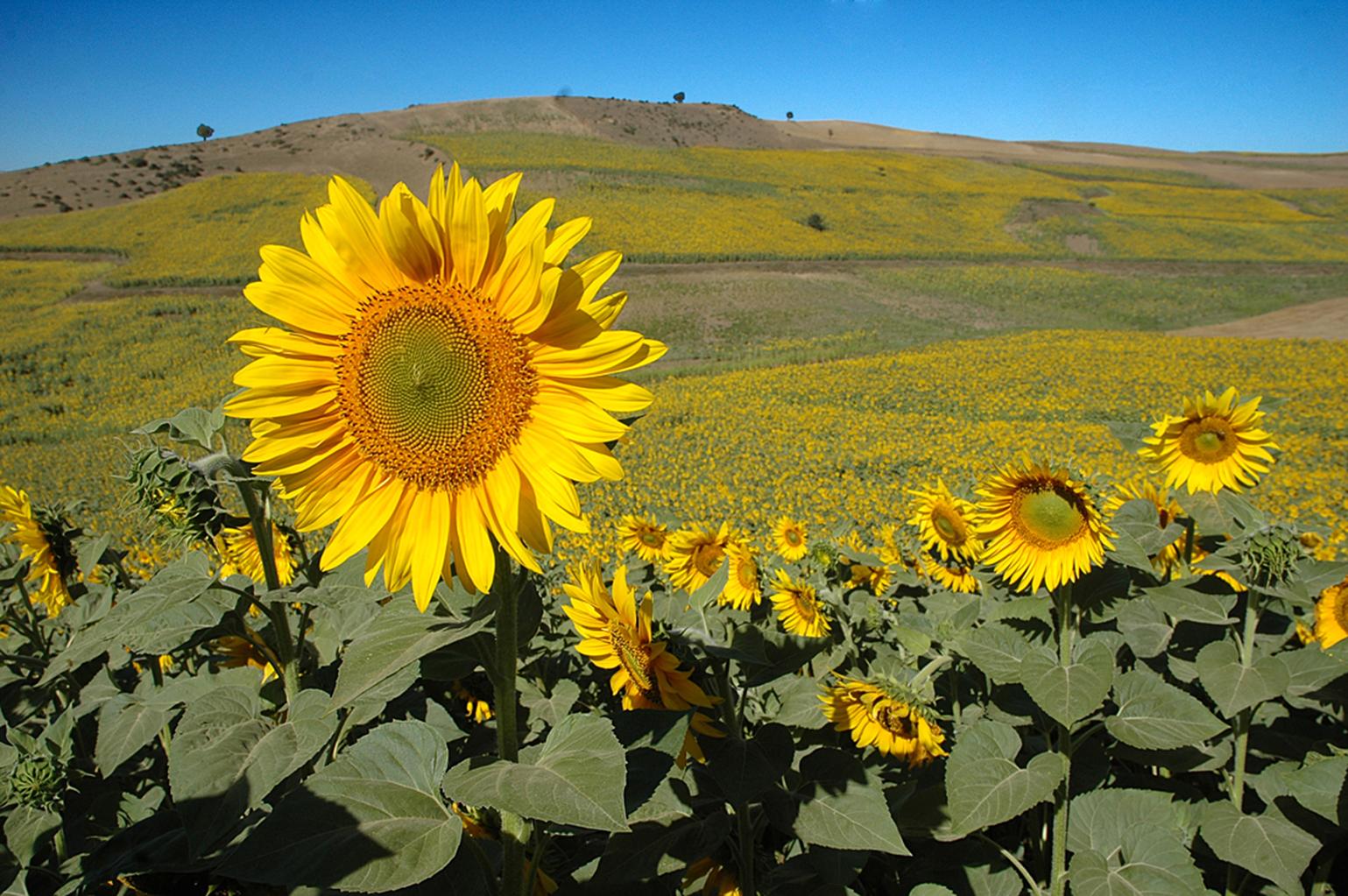 سفر به دشت آفتابگردان های کالپوش میامی/ مشاهده تلألوء گل های آفتاب پرست از دور دست ها