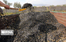 ۱۲۰۰ تن آفتابگردان در میامی تولید میشود