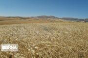 ۱۴ هزار تن گندم و کلزا از کشاورزان میامی خریداری شد