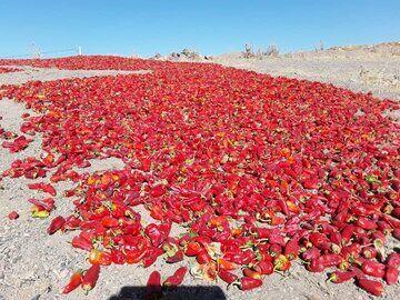فرآوری راه رهایی قطب فلفل شرق استان سمنان از بند خام فروشی